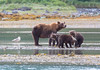Grizzly family at Geographic Harbor.