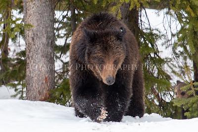 Grizzly Mom Bear Claw