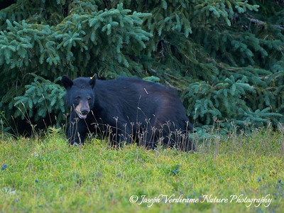 Black bear in blueberry patch (6)