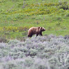 roaming the hills of Lamar Valley , Yellowstone