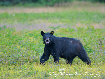 Watchful black bear (2)