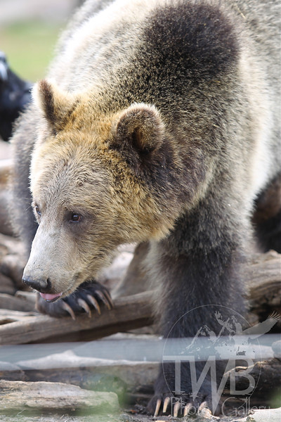 impressive claws for a young Grizzly
