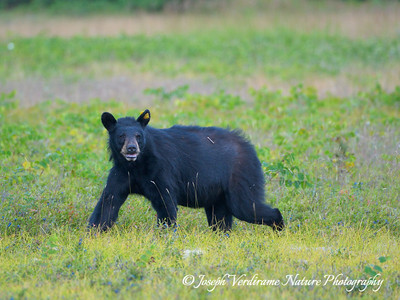 Watchful black bear (4)