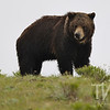 a large male Grizzly coming over the rise in search of a female and her cub, just west of the Lamar Valley, Yellowstone N.P.