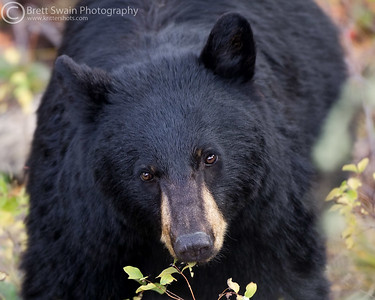 Black Bear Close-up