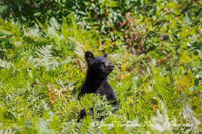 Alert black bear cub