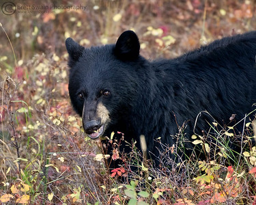 Nibbling Black Bear