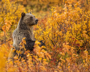 Sow Grizzly Feeds In Fall Foliage