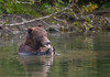 Kodiak Bear in Buskin River