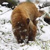 a spring snow doesn't slow this busy bear near Grizzly Lake toward Norris, Yellowstone