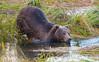 Kodiak Bear on Kodiak, Island Alaska.