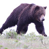 moving with strength and purpose, a large male Grizzly storms over the ridge, Yellowstone