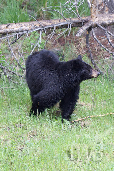 mom black bear , grazing yet mindful of her cubs at all times, near Tower, Yellowstone