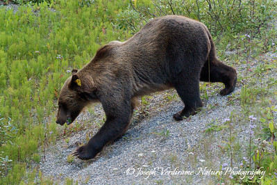 Young male grizzly ambles down slope (2)