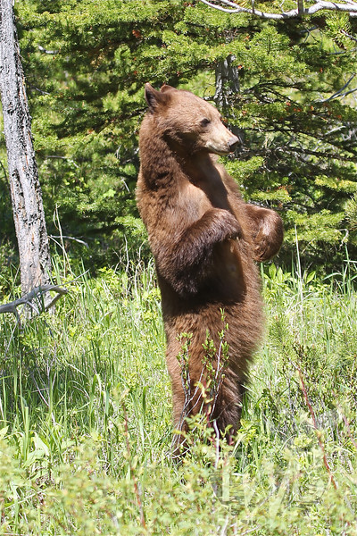 a momma Black Bear, rises up to check on her baby,in the tall grasses