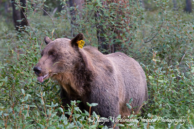 Young male grizzly in berry patch