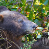 black bear enjoying a meal ,fall in Grand Tetons N.P.