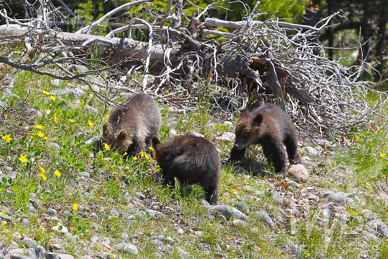 """"""" finding anything"""" three grizzly cubs, Grand Tetons"""