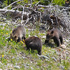 """ finding anything"" three grizzly cubs, Grand Tetons"