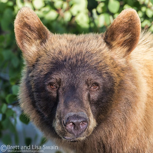 Blonde Phase Black Bear Portrait