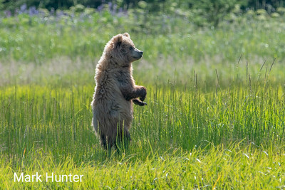 Bears of Lake Clark NP, Alaska