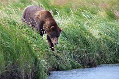 Coastal Brown Bear in search of salmon, Katmai National Park, Alaska