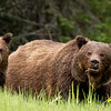 Grizzly Sow and Cub_9532_9x12