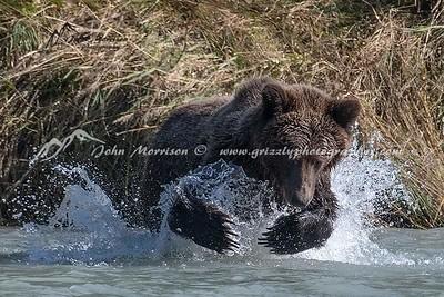 Alaska Coastal Brown Bear