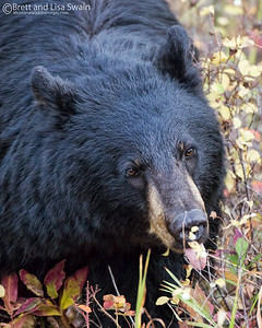 Black Bear Feeding Near Dark