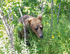 Kodiak Bear sneaking up on me.