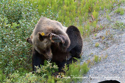 Grizzly stops to scratch (2)