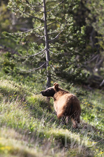 a pause in an otherwise busy morning , for a young grizzly , near Colter Bay, in the Tetons, Wyoming