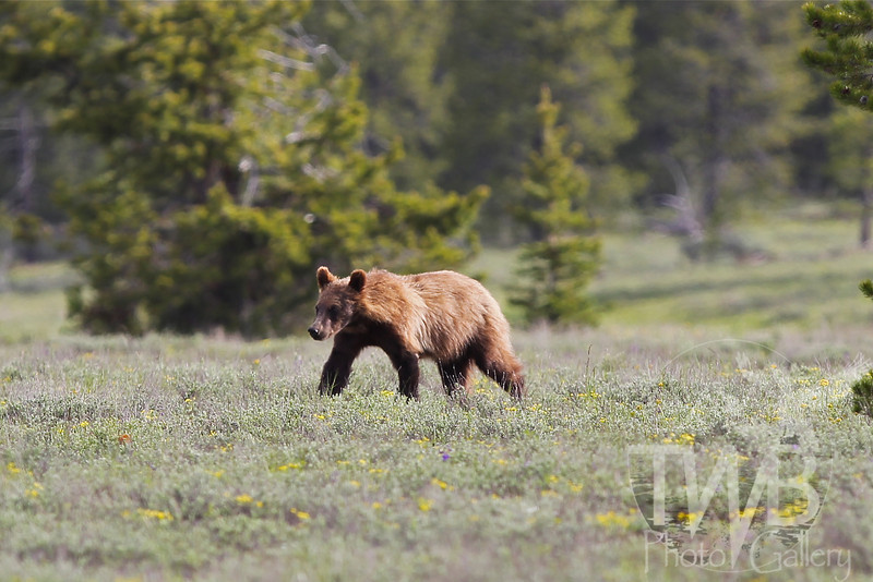 a roaming grizzly