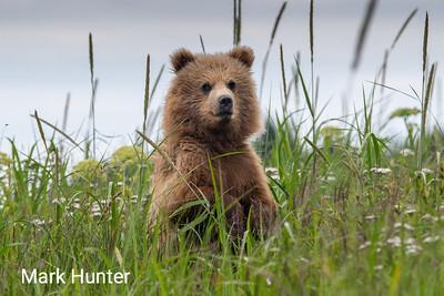 Brown Bear Cub in a Meadow