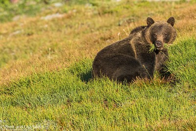 Grizzly Bear Sow Feeding in the Morning Sun