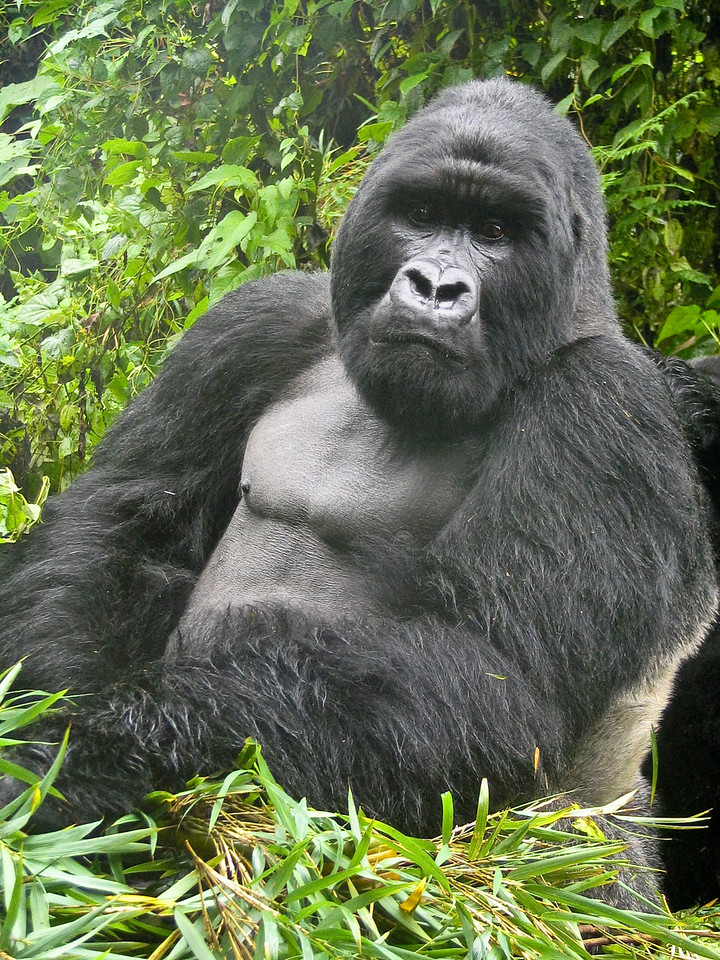 If there is one wildlife experience in the world that I'd have to recommend to other, similarly-minded individuals, it would be to go see the very highly-endangered Mountain Gorillas in East Africa.  There are groups in each of Rwanda, Uganda and the DRC that can be visited.  Doing so isn't a cheap excursion (in addition to the expense of just getting to East Africa) and, as the number of visitors to the gorillas is heavily regulated plus how the gorillas make their home in a politically iffy part of the world, it takes some advance planning to do.  But when you finally do come upon the gorillas in the bamboo forest, surrounded by adults and youngsters doing their thing sometimes only mere feet from you, it's magic unlike anything else.<br /> <br /> There is but one dominate male in each group, the Silverback.  This shot is of our group's Silverback (we visited 'Group 13').<br /> <br /> Location: Parc National des Volcans (Volcano National Park), Rwanda<br /> <br /> Lens used: n/a (Canon S1 IS point-and-shoot)