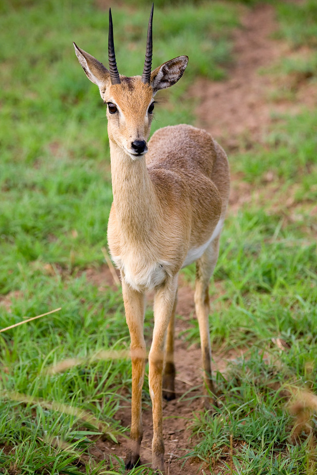 The Oribi is another tiny variety of antelope.<br /> <br /> Location: Murchison Falls National Park, Uganda<br /> <br /> Lens used: Canon 100-400mm f4.5-5.6 IS