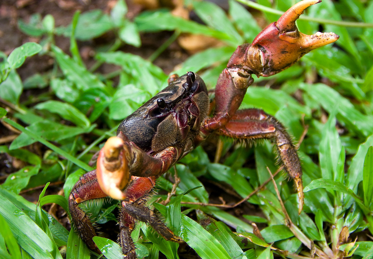 A landcrab takes a defensive posture.<br /> <br /> Location: Santo island, Vanuatu<br /> <br /> Lens used: Canon 70-200mm f2.8 IS w/Canon 2.0x extender
