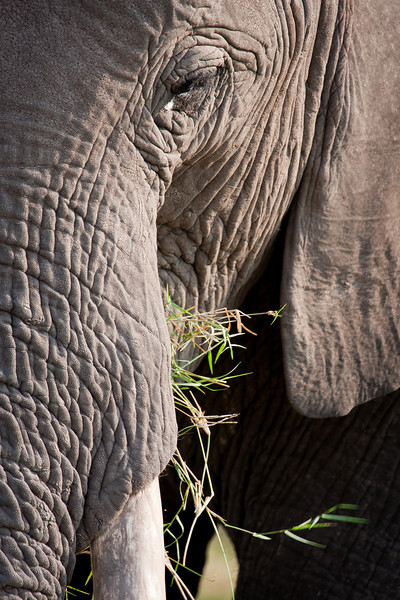 A semi-tight frame of an elephant munching on grass.<br /> <br /> Location: Amboseli National Park, Kenya<br /> <br /> Lens used: Canon 100-400mm f4.5-5.6 IS