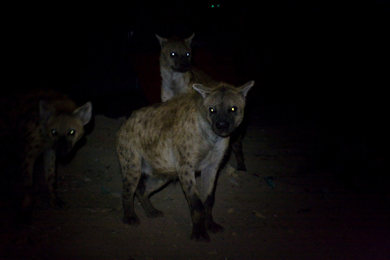 A pack of wild Spotted Hyena lurks in the dark.<br /> <br /> Location: Harar, Ethiopia<br /> <br /> Lens used: Canon 24-105mm f4.0 IS