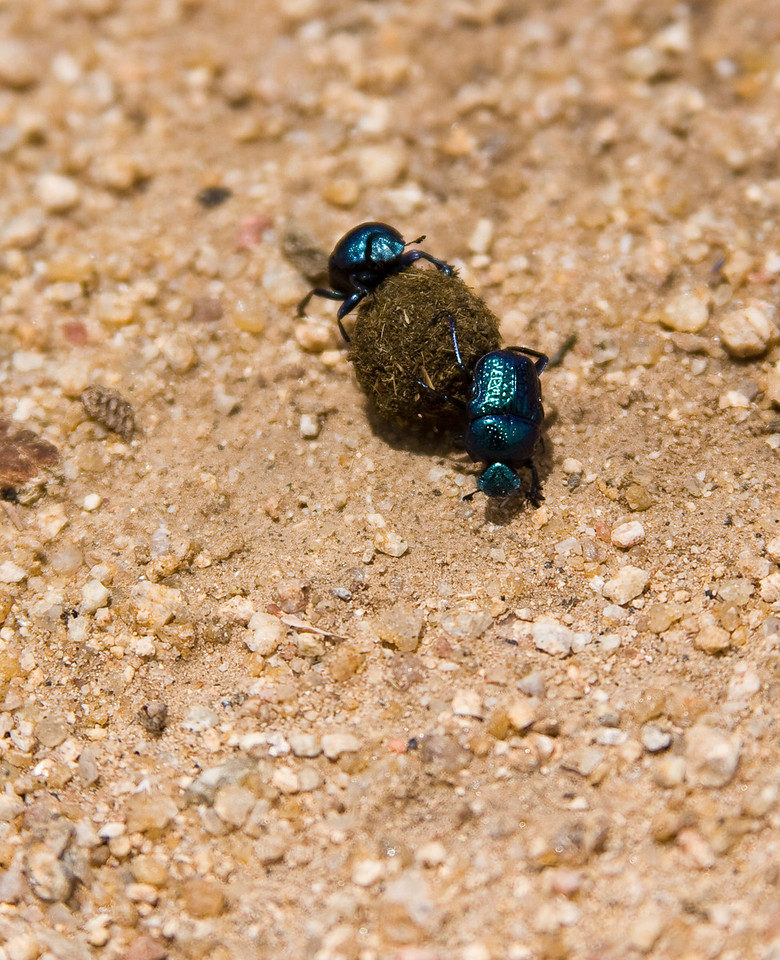 Though they don't look like any of the images of 'dung beetles' that I found on the web, they sure looked like 'em there on the ground rolling along a ball of dung.  One beetle was crawling forward to roll the ball underneath itself and the other was crawling backward to propel the ball away from itself.<br /> <br /> It was one of the more unusual examples of evolution I'd seen.  Very cool.<br /> <br /> Location: Hampi, India<br /> <br /> Lens used: Canon 28-135mm f3.5-5.6 IS