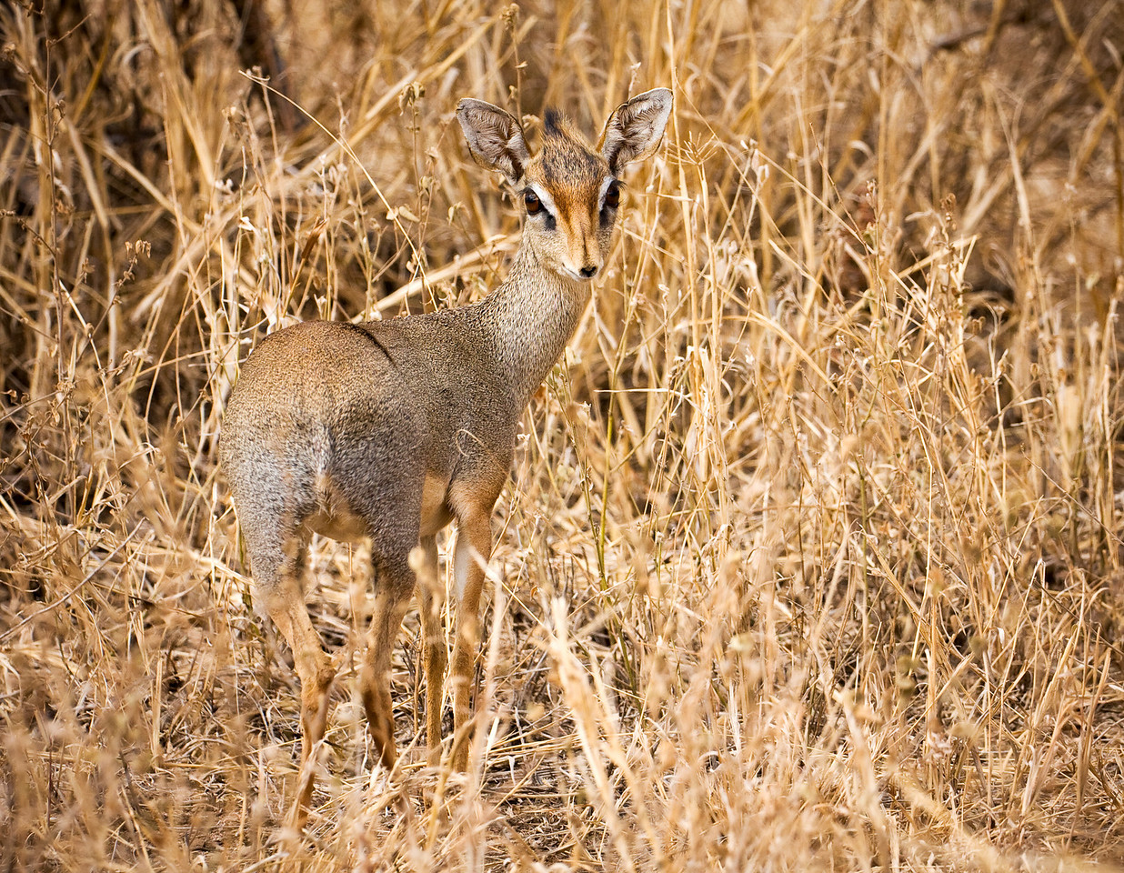 The diminutive Dik-Dik is the smallest member of the antelope family.<br /> <br /> Note that his nose is an 'innie', not an 'outie'.<br /> <br /> Location: Tsavo West National Park, Kenya<br /> <br /> Lens used: Canon 100-400mm f4.5-5.6 IS