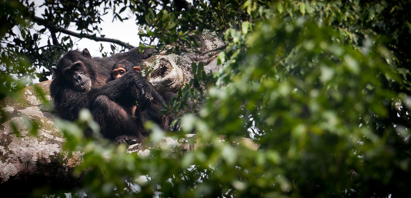 A wild chimpanzee momma and baby watch me watch them.<br /> <br /> Location: Budongo Forest Reserve, Uganda<br /> <br /> Lens used: Canon 100-400mm f4.5-5.6 IS