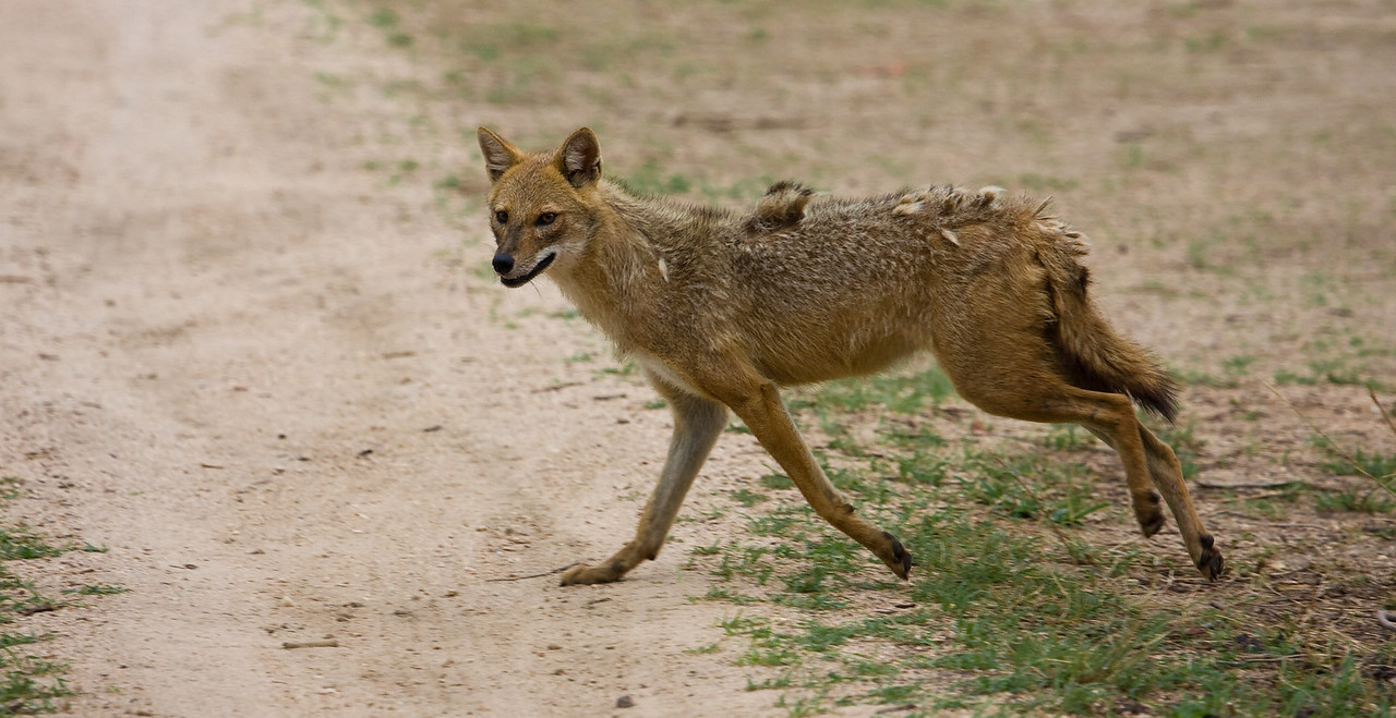A somewhat frazzled-looking jackal runs across a dirt road.<br /> <br /> Location: Pench National Park, India<br /> <br /> Lens used: Canon 100-400mm f4.5-5.6 IS