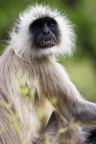 An Indian Langur.<br /> <br /> Location: Pench National Park, India<br /> <br /> Lens used: Canon 100-400mm f4.5-5.6 IS
