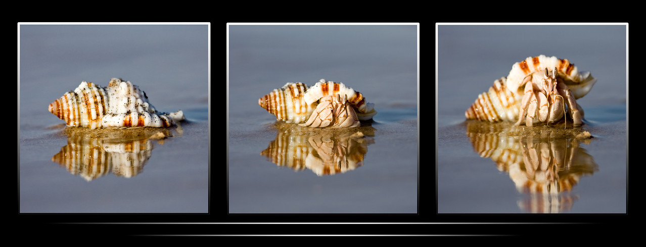 A hermit crab coming out of the protection of its shell.<br /> <br /> This is my first ever attempt at a triptych.  Though I didn't have such a thing in mind while I knelt in the sand and salt water waiting for the little guy to be comfortable enough to come out of hiding, I think it came together okay.<br /> <br /> Location: Berbera, Somalia (Somaliland)<br /> <br /> Lens used: Canon 100-400mm f4.5-5.6 IS