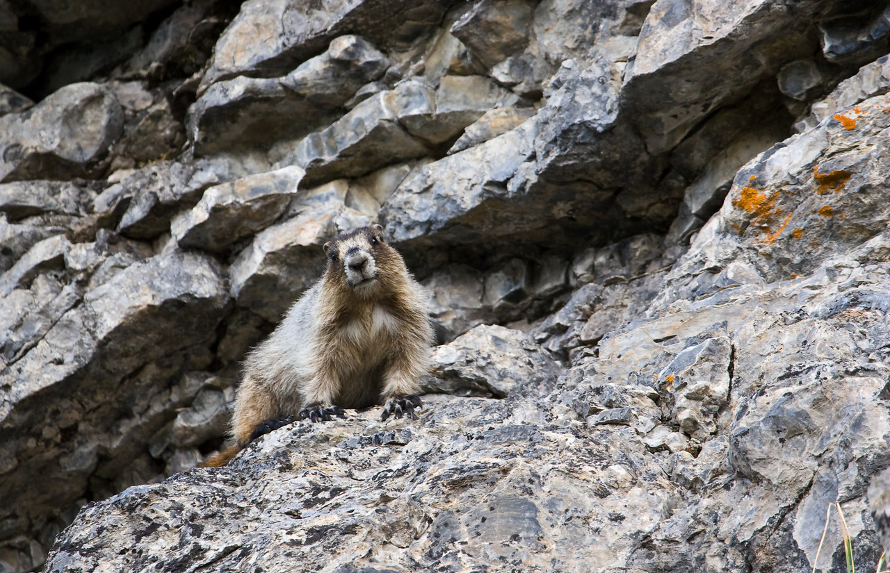 Marmots are cool.  I see them at work regularly and they seem to have so much personality - if I was one to anthropomorphize, that is.<br /> <br /> Location: Glacier National Park, Montana<br /> <br /> Lens used: Canon 100-400mm f4.5-5.6 IS