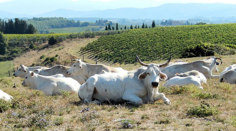 Chianina Cattle
