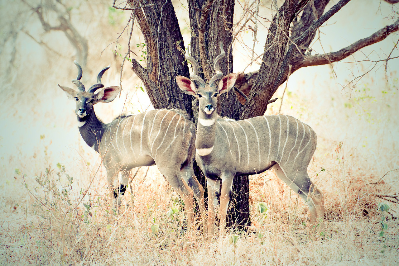 A pair of Lesser Kudu, artified.<br /> <br /> Location: Tsavo West National Park, Kenya<br /> <br /> Lens used: Canon 100-400mm f4.5-5.6 IS
