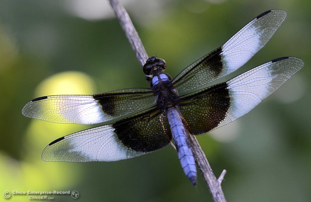 . A widow skimmer lands on a twig Friday, June 16, 2017, in the Butte Creek Ecological Preserve in Chico, California. (Dan Reidel -- Enterprise-Record)